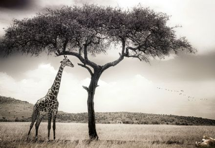 Photo wallpaper Giraffe Safari